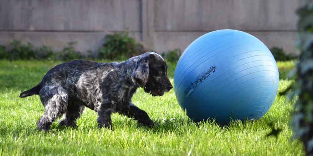 muzo-lyon-chien-treibball-sport-ballon-cerise
