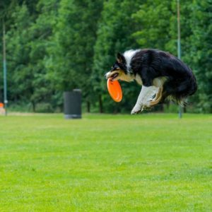 Préparation physique aux sports canins