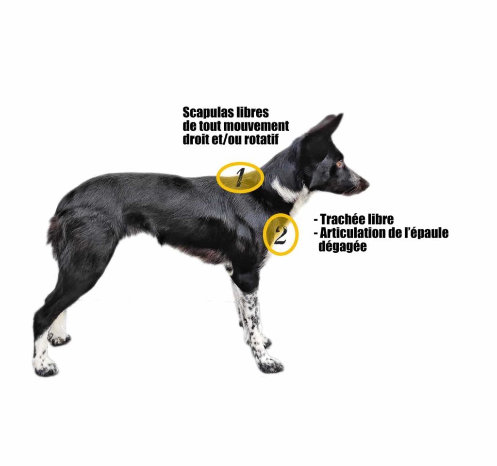 harnais visuel2 trachée sternum chien muzo muzoplus canicross harnais